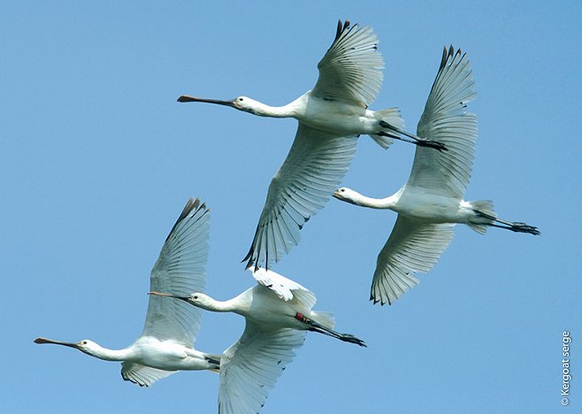 Flight of spoonbills